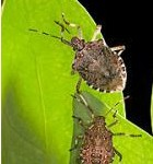 Stink bug mapping tool